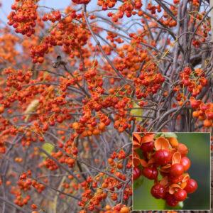 Native Plants American Bittersweet