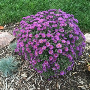 Native Plants New England Aster