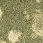 Winter Lawn Fungal Diseases